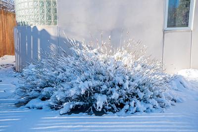 Snow lavender 05966