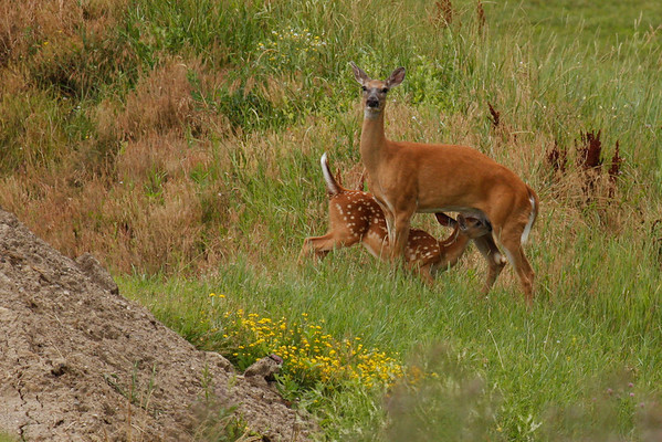 White-Tailed Deer Mother And Fawn (Odocoileus virginianus)