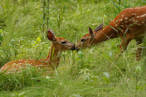 White-Tailed Deer Fawns Greeting (Odocoileus virginianus)