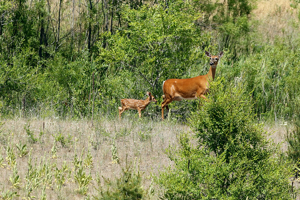 Mother White Tailed Deer And Fawn, In My Own Back Yard #2