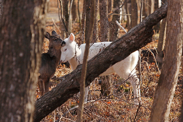 Albino White-Tailed Deer Mother With Fawn (Odocoileus virginianus)