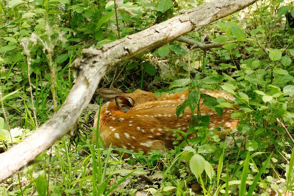 White-Tailed Deer Newborn Fawn (Odocoileus virginianus)