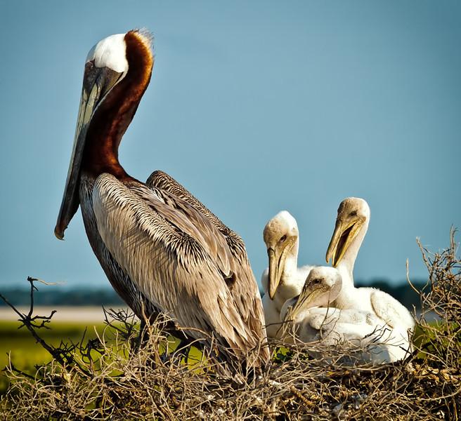 Brown Pelicans & Chicks #1 <br /> Deveaux Bank<br /> Edisto Island, SC