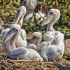 Brown Pelican Chicks #3<br /> Deveaux Bank<br /> Edisto Island, SC