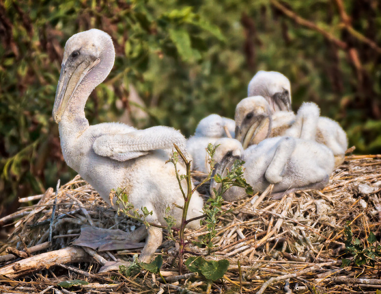 Brown Pelican Chicks #2<br /> Deveaux Bank<br /> Edisto Island, SC