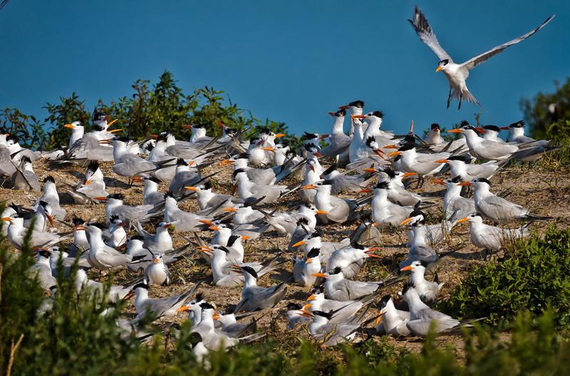 Royal Terns Congregating <br /> Deveaux Bank<br /> Edisto Island, SC