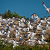 Royal Terns Congregating <br /> Deveaux Bank<br /> Edisto Island, SC