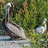Brown Pelicans & Chicks #2 <br /> Deveaux Bank<br /> Edisto Island, SC