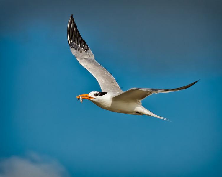 Royal Tern #3<br /> Deveaux Bank<br /> Edisto Island, SC