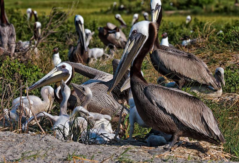 Brown Pelicans & Chicks #8 <br /> Deveaux Bank<br /> Edisto Island, SC
