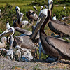 Brown Pelicans & Chicks #8 <br /> Deveaux Bank<br /> Edisto Island, SC