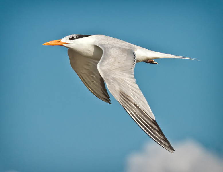 Royal Tern #2<br /> Deveaux Bank<br /> Edisto Island, SC