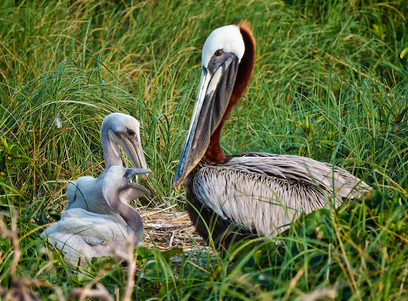 Brown Pelicans & Chicks #6 <br /> Deveaux Bank<br /> Edisto Island, SC