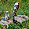 Brown Pelicans & Chicks #6 <br /> Deveaux Bank<br /> Edisto Island, SC