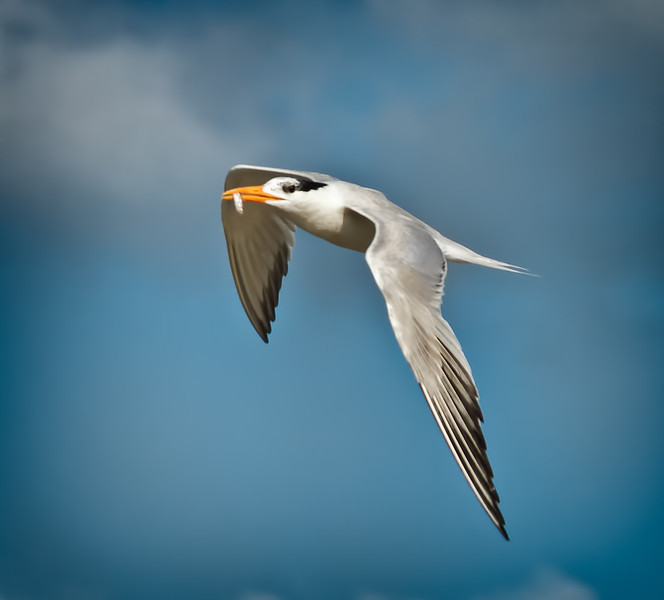 Royal Tern #1<br /> Deveaux Bank<br /> Edisto Island, SC