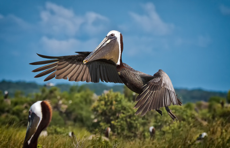 Brown Pelican in Flight<br /> Deveaux Bank<br /> Edisto Island, SC