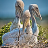 Brown Pelican Chicks #4<br /> Deveaux Bank<br /> Edisto Island, SC