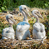 Brown Pelican Chicks #1<br /> Deveaux Bank<br /> Edisto Island, SC