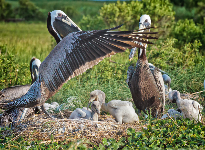 Brown Pelicans & Chicks #3 <br /> Deveaux Bank<br /> Edisto Island, SC