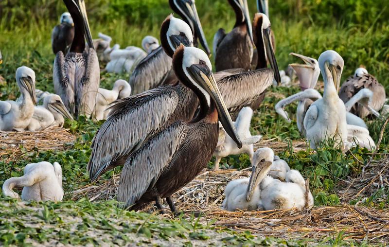 Brown Pelicans & Chicks #5 <br /> Deveaux Bank<br /> Edisto Island, SC