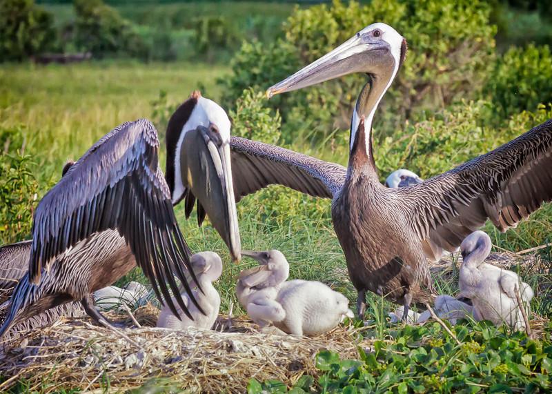 Brown Pelicans & Chicks #4 <br /> Deveaux Bank<br /> Edisto Island, SC