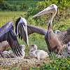 Brown Pelicans & Chicks #4 <br /> Deveaux Bank<br /> Edisto Island, SC