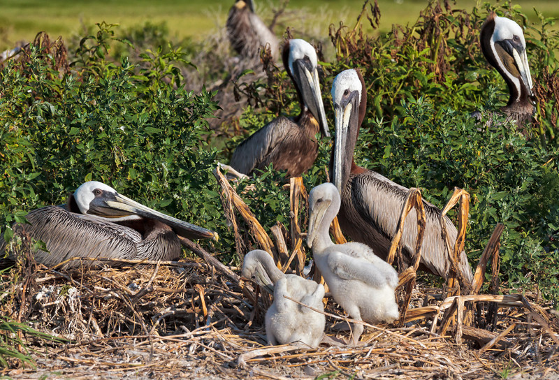 Brown Pelicans & Chicks #7 <br /> Deveaux Bank<br /> Edisto Island, SC