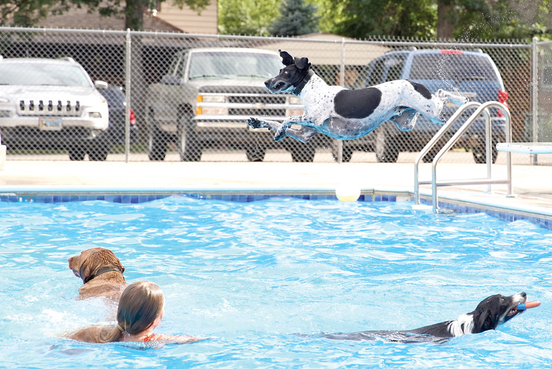 Matthew Gaston | The Sheridan Press<br>A german short haired pointer by the name of Hank dives off the diving board to recue his precious ball from certain peril during the dog swim at Kendrick Pool Saturday, Aug. 24, 2019.