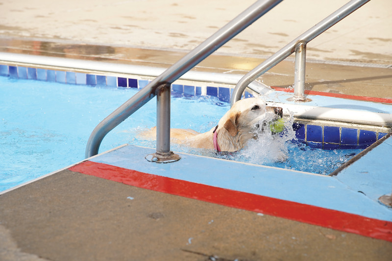 Matthew Gaston | The Sheridan Press<br>Brass demonstrates for the other dogs the best way to return the ball to thier humans while playing fetch at the pool Saturday, Aug. 24, 2019.
