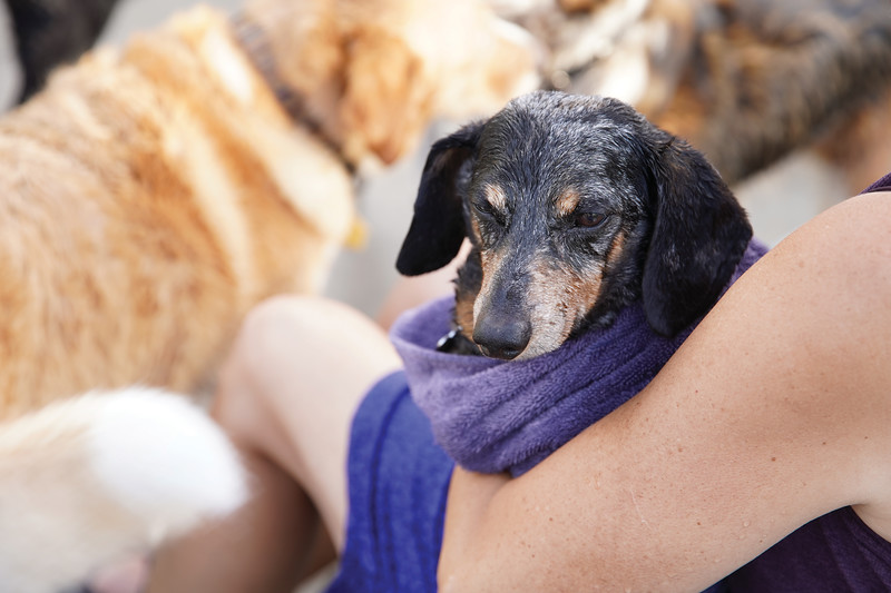 Matthew Gaston | The Sheridan Press<br>Twelve-year-old dachund, Scrappy relaxes in his humans arms after a vigorious swim at Kendrick Pool Saturday, Aug. 24, 2019.