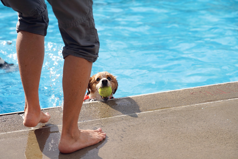 Matthew Gaston | The Sheridan Press<br>Wrigley returns his ball to his owner at the pools edge during an aquatic game of fetch at Kendrick Pool Saturday, Aug. 24, 2019.