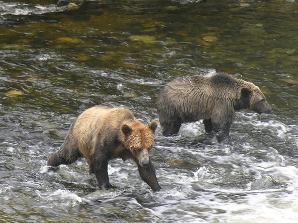 Brown Bears, British Columbia, Canada