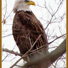 Bald Eagle, Cohoes 11/2012