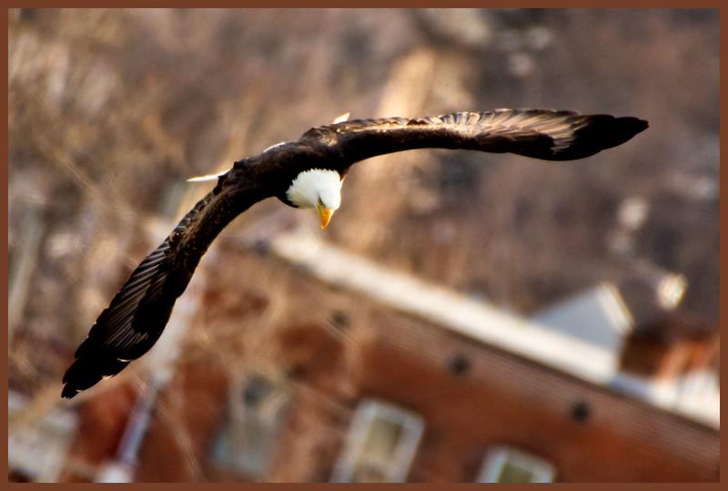 Bald Eagle, Tibbitts Ave, Green Island, NY 3-13-15