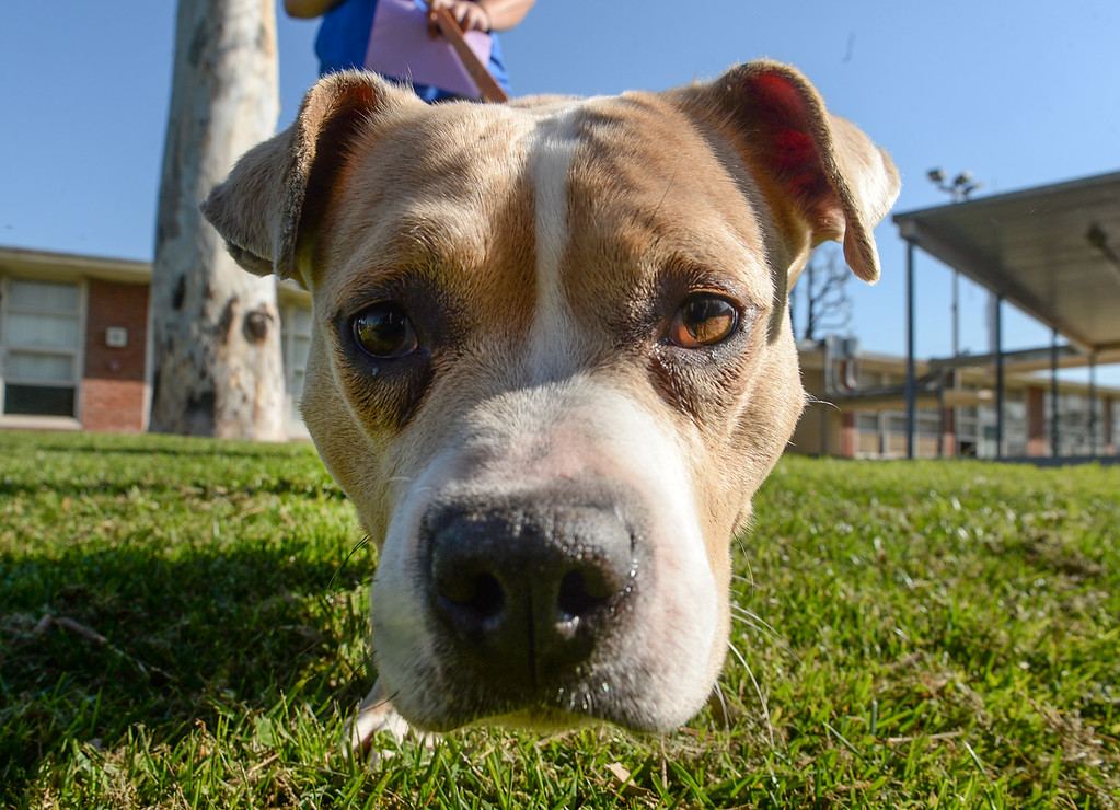 . Naomi, a pit bull mix, a shelter dog from the Society for the Prevention of Cruelty to Animals Los Angeles (SPCALA) is guided by s student as they graduate from the four-week Teaching Love & Compassion (TLC) training program at Graves Middle School in South Whittier on Thursday March 9, 2017. Students show what they have learned as they take the shelter dogs through an obstacle course showing off the tricks they have taught the dogs. (Photo by Keith Durflinger/Whittier Daily News/SCNG)