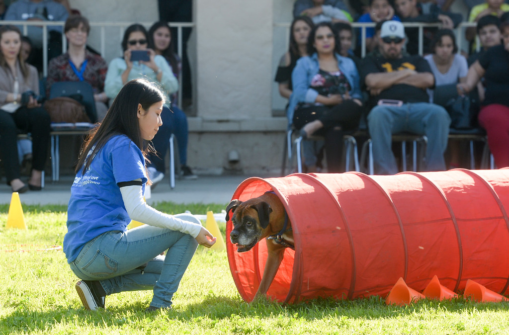 """. Serenity Rico waits for \""""Pete\"""" after going through a tunnel as they graduate from the four-week Teaching Love & Compassion (TLC) training program at Graves Middle School in South Whittier on Thursday March 9, 2017. Students show what they have learned as they take the shelter dogs through an obstacle course showing off the tricks they have taught the dogs. (Photo by Keith Durflinger/Whittier Daily News/SCNG)"""