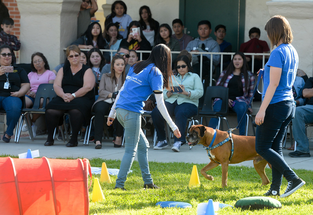 """. Serenity Rico leads \""""Pete\"""" around cones as they graduate from the four-week Teaching Love & Compassion (TLC) training program at Graves Middle School in South Whittier on Thursday March 9, 2017. Students show what they have learned as they take the shelter dogs through an obstacle course showing off the tricks they have taught the dogs. (Photo by Keith Durflinger/Whittier Daily News/SCNG)"""