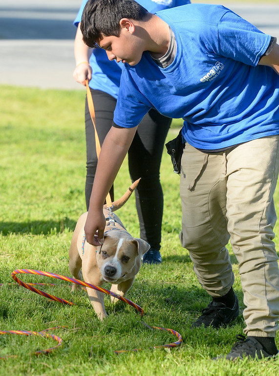 """. Matthew Solis leads \""""Naomi\"""" over hoops as they graduate from the four-week Teaching Love & Compassion (TLC) training program at Graves Middle School in South Whittier on Thursday March 9, 2017. Students show what they have learned as they take the shelter dogs through an obstacle course showing off the tricks they have taught the dogs. (Photo by Keith Durflinger/Whittier Daily News/SCNG)"""