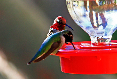 Male Costa's Hummingbird showing gorget feathers. Male Black-Chinned Hummingbird in foreground, Boyce Thompson Park.