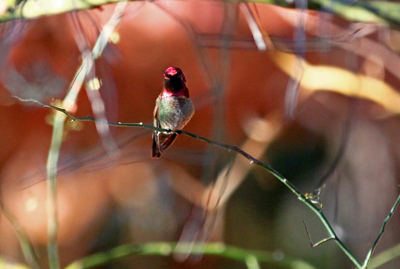 Male Costa's Hummingbird.