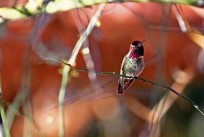 Male Costa's Hummingbird, Boyce Thompson Park