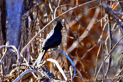 male Phainopepla, Boyce Thompson Park