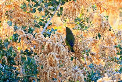 Orange-Crowned Warbler, Oasis Park