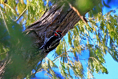 Red-naped Sapsucker, Boyce Thompson Park