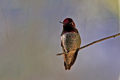 Male Costa's Hummingbird.
