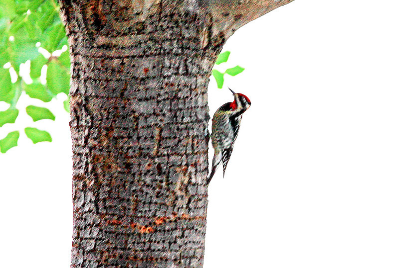 Photo blurred from not holding camera steady. But included to show the color patterns of this Red-Napped Sapsucker, and to show the rows of sap-wells drilled into the tree's bark.