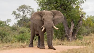 Elephant, Kruger NP, South Africa.