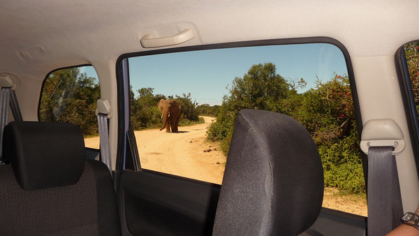 Elephant, Loxodonta africana. Addo Elephant Park, South Africa.