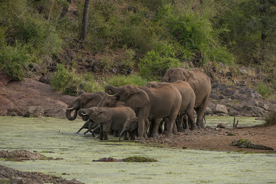 Elephants, Kruger NP, South Africa.