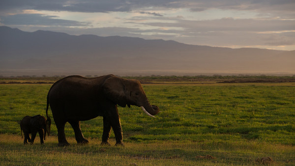 Savanna Elephant, Loxodonta africana. Amboseli, Kenya.